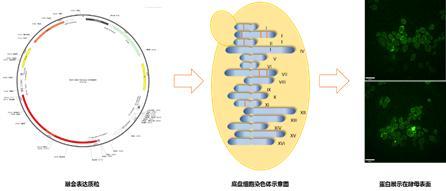 天津大学实验室宣布:已经研发出新冠病毒口服疫苗